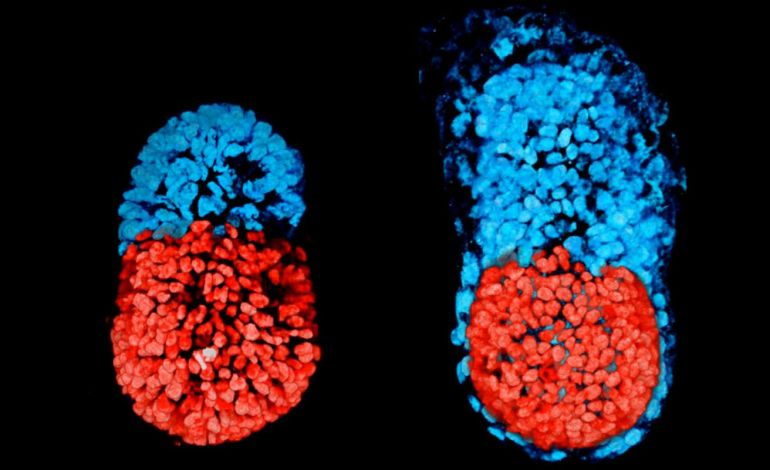 Researchers Make History By Creating The World's First Fully-Functioning Artificial Embryo-1