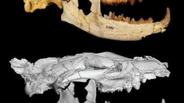 34-Million-Year-Old fossil Remains Lead To The Discovery Of A New Species Of Carnivore-1