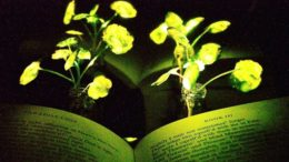 glowing-plants-living-nanobionic_1